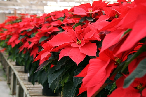 Awesome I Fiori Di Natale: Non Solo Le Classiche Stelle Rosse