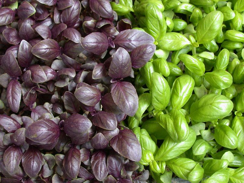 Come coltivare le diverse variet di basilico soluzioni - Come coltivare il basilico in casa ...
