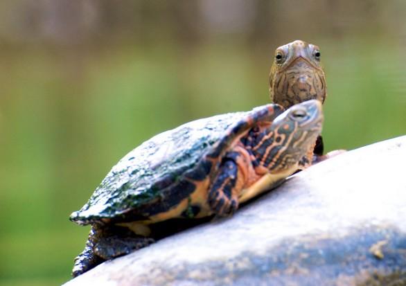 Come prendersi cura di una tartaruga soluzioni di casa for Letargo tartarughe acqua