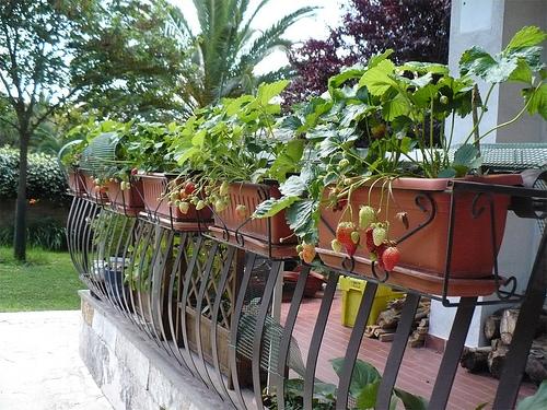 Come coltivare le fragole sul balcone soluzioni di casa for Fragole piante in vaso