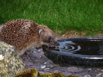 Cosa fare quando si trova un riccio in giardino - Come si progetta un giardino ...