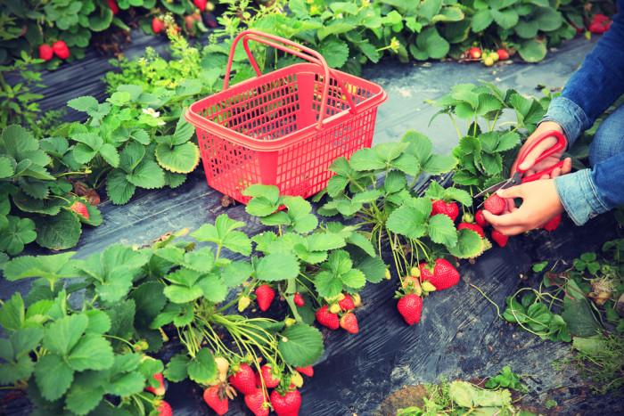 Come coltivare le fragole sul balcone soluzioni di casa for Vasi per fragole