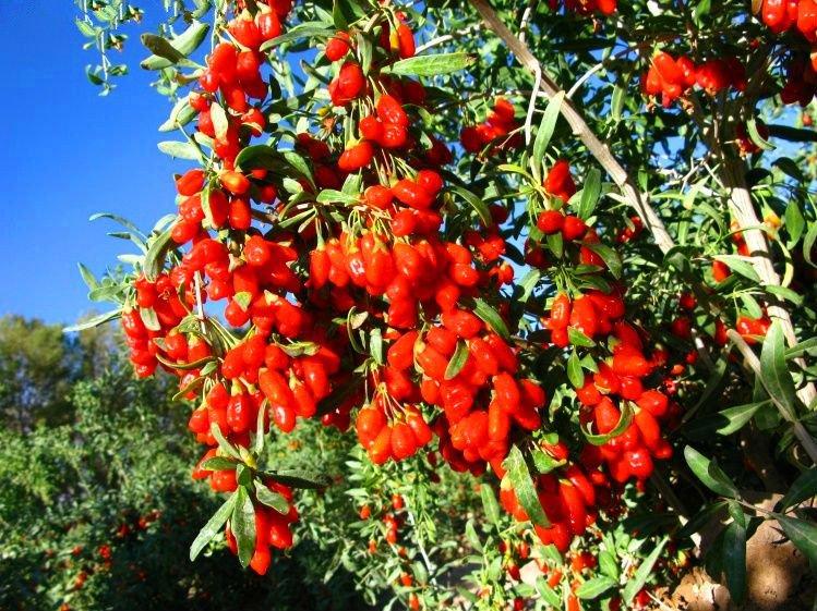 Come coltivare il goji soluzioni di casa for Coltivazione goji in vaso