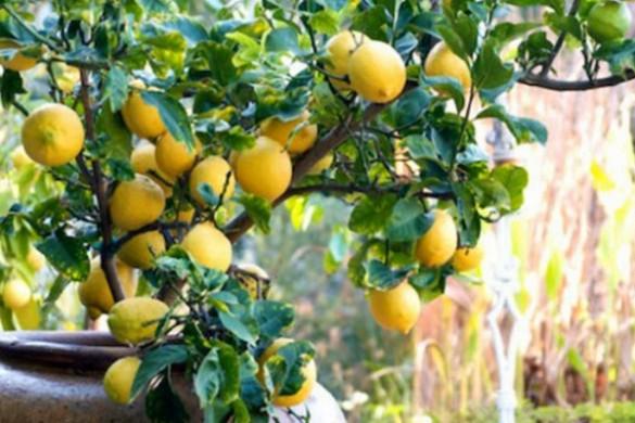 Piante e animali soluzioni di casa for Limoni in vaso