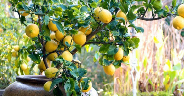 Come coltivare i limoni in vaso soluzioni di casa for Coltivare limoni
