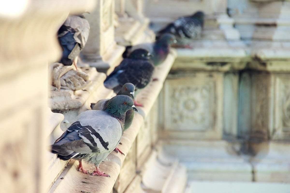 Come allontanare i piccioni - Soluzioni di Casa