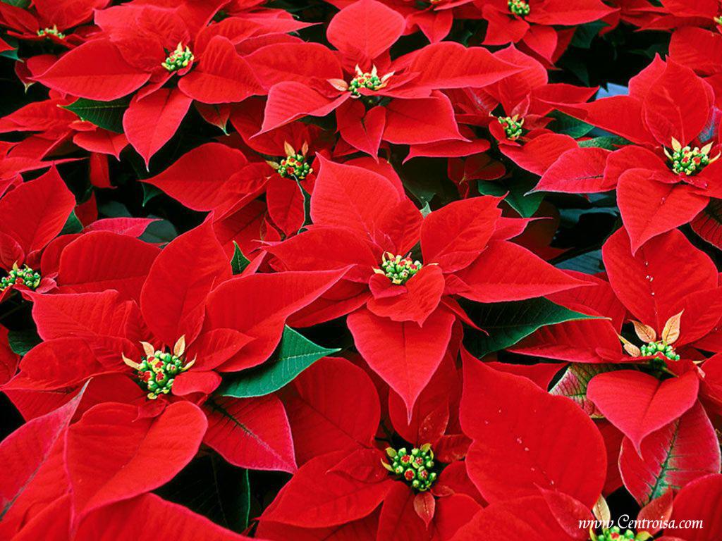 Come Decorare Una Stella Di Natale.Come Decorare La Stella Di Natale Soluzioni Di Casa
